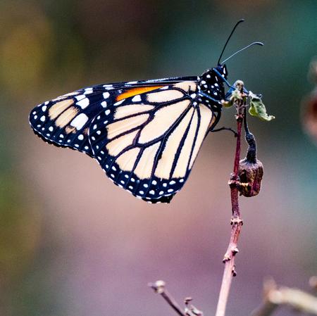Monarch Butterfly (Danaus plexippus ) sitting on a plant stem