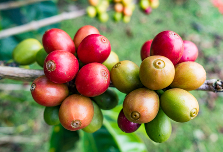Coffee beans ripen at different times, and so must be picked over several months Reklamní fotografie