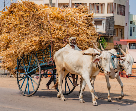 BADAMI, INDIA, MAR 18, 2018: Man drives ox cart with massive load of dried corn stalks for animal feed
