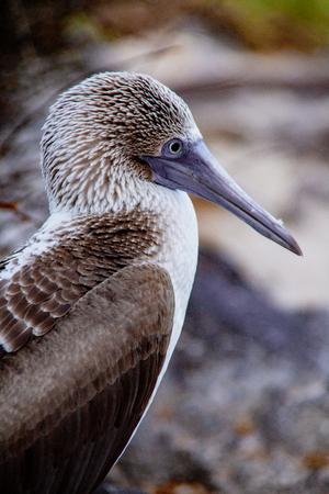 Closeup profile of blue footed boobie