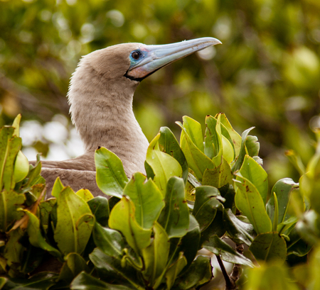 Red Footed Booby sitting in leaves