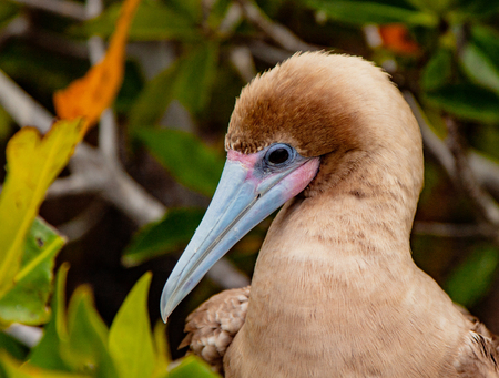 Close up of Red Footed Booby, on Isla San Cristobal, Galapagos Islands, Ecuador Stock fotó - 101353996
