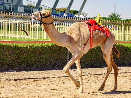 Dubai, UAE, Mar 21, 2018 - Camel runs on track being trained to race with tiny robot jockey on his back 新聞圖片