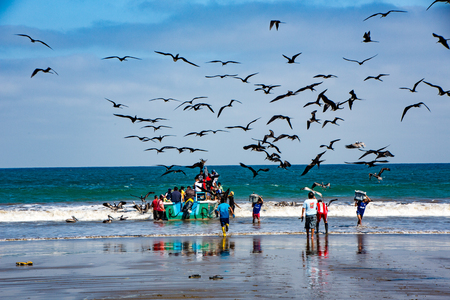 Puerto Lopez, Ecuador - Aug 19, 2016: Fishermen carry bins of fish to buyers, chased by birds looking for an easy meal