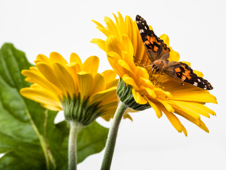Painted Lady Butterfly on Gerbera Daisy