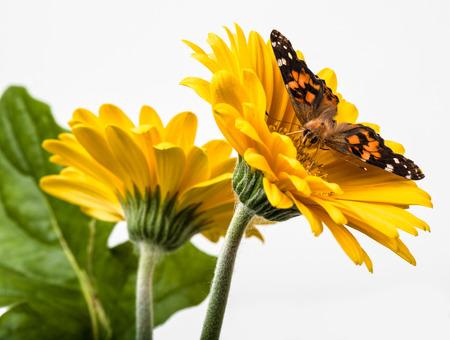 Papillon Dame peinte sur Gerbera Daisy