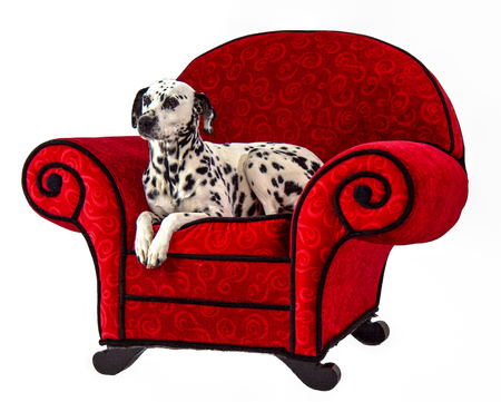 Dalmatian Sitting on Red Chair Stock fotó