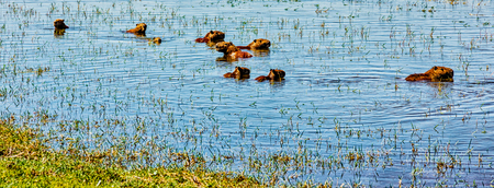 Capybara rodents swimming in water in Argentina are the size of small dogs 版權商用圖片 - 102232781