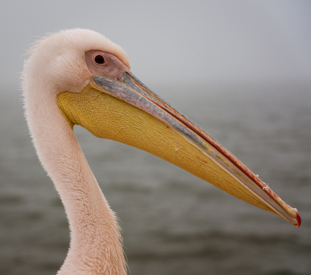 Profile of a Great White Pelican in Namibia Stock Photo - 106229550