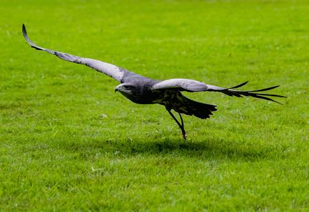 Black-Chested Buzzard-Eagle flies low over grass, approaching his prey at a bird rescue center in Ecuador