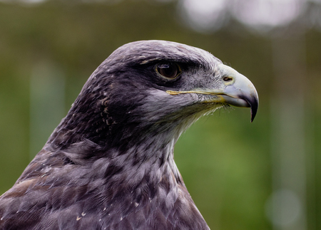 Close-up of Black-Chested Buzzard-Eagle head at a bird rescue center in Ecuador at a bird rescue center in Ecuador