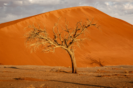 Dormant tree sits under a giant sand dune in the Winter in Namibia