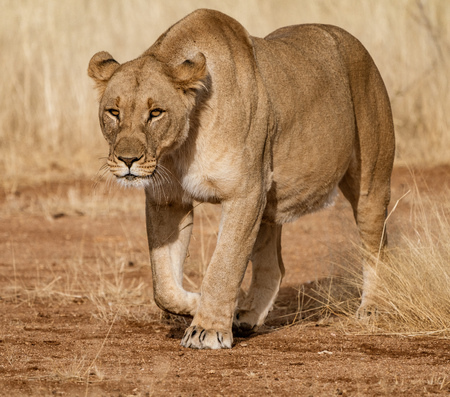 Female lion walks across dirt toad in Botswana