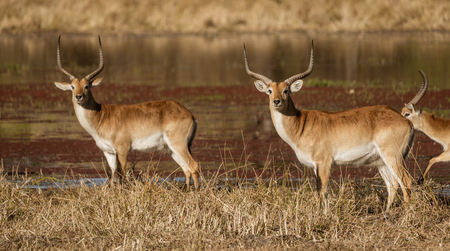 Red lechwe are wary antelopes, and turn to watch the photographer in Botswana Stock Photo