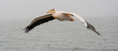 Great White Pelicans in flight in Namibia