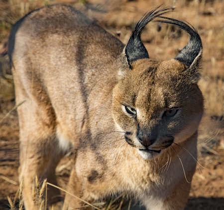 Caracal cat scans his surroundings for food Foto de archivo
