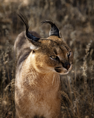Caracal cat scans his surroundings for food Stock fotó