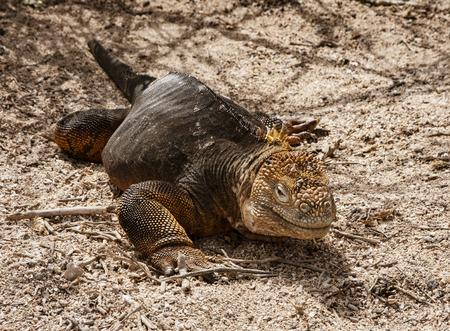Land Iguana, on Grand Seymore Island, Galapagos islands, Ecuador 免版税图像
