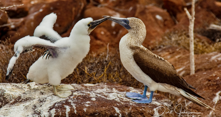 Mother and Baby Blue-Footed Boobies on Grand Seymore Island, Galapagos Islands, Ecuador