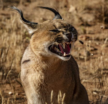 Caracal cat opens his mouth and snarls