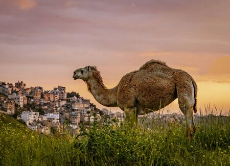 Wild Camel Looks Over the Skyline of Amman, Jordan Banco de Imagens
