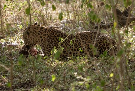 Wild Leapard Eats Boar Forest in Sri Lanka Stock Photo