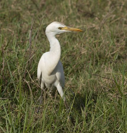 Egret Walks in Grass Eating Insects Thrown Up in Sri Lanka.