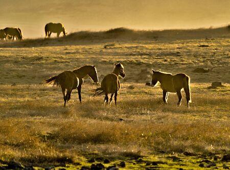 Wild Horses Backlit at Sunset on Easter Island. Stock Photo