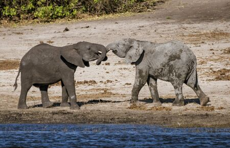 Two baby elephants play by intertwining their trunks Standard-Bild - 128584030