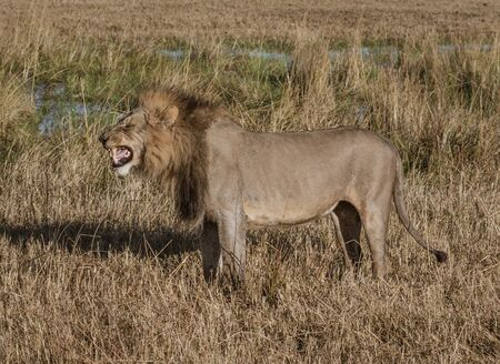 Adult male lion stands in short dry grass in Botswana Stock Photo