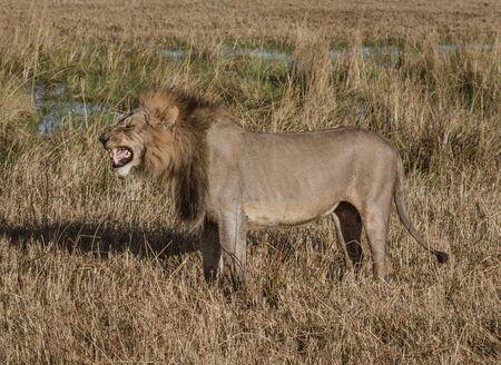 León macho adulto se encuentra en pasto seco corto en Botswana Foto de archivo