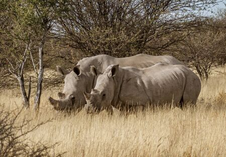 Two white rhinoceros stand together in short dry grass in Namibia