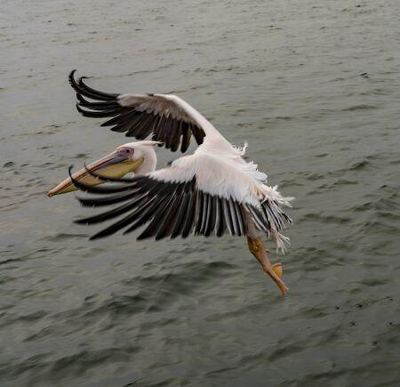 Great White Pelicans in flight in Namibia Standard-Bild - 128584032