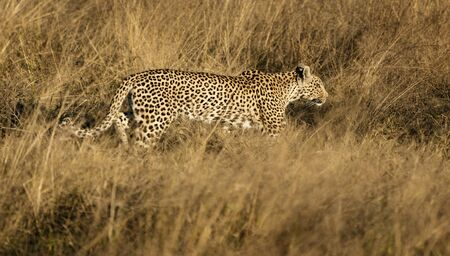 Leopard walks in short dry grass, stalking his prey in Namibia