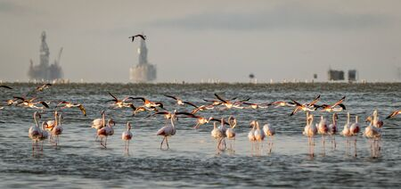 Flamingos in low salty water with oil rigs in the background in Namibia