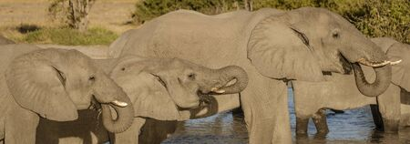 Family of elephants all drink from a local watering hole in Botswana Imagens