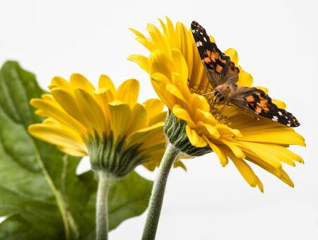 Painted Lady Butterfly on Gerbera Daisy flower