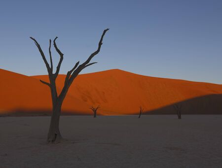 Dead camelthorn trees sitting in a salt pan in Deadvlie in Namibia 스톡 콘텐츠