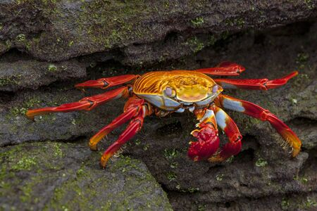 Sally Lightfoot crab on Galapagos Islands red