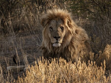 Adult male lion lies down in the short dry grass of Botswana Stock Photo