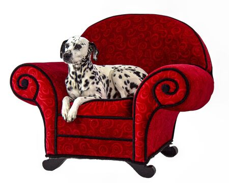 Dalmatian Sitting on Red Chair relaxed pose Standard-Bild - 128584063