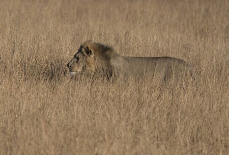 Adult male lion is mostly hidden in the short dry grass while it prowls for food in Botswana Stock Photo