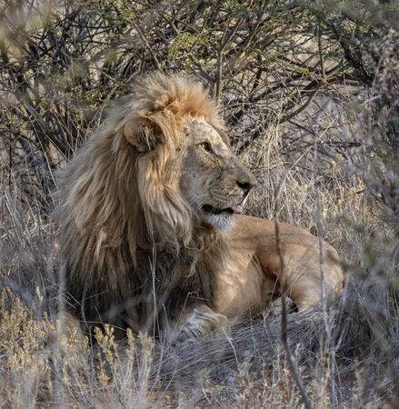 Adult male lion lies down in the short dry grass of Botswana Banque d'images