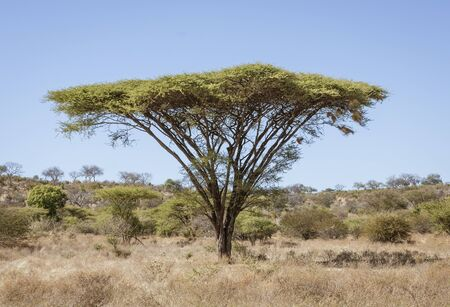 Umbrella acacia trees tend to be isolated from any other large plants in Botswana Standard-Bild - 128585298