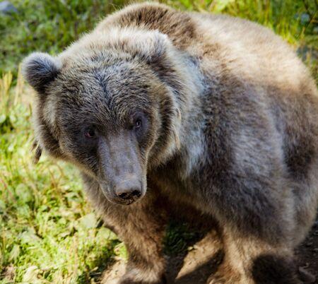 Grizzly Bear posing at Kroschel Films Wildlife Center, in Skagway, Alaska Standard-Bild - 128585305