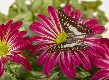 Common Jay Butterfly on Red Mum flower