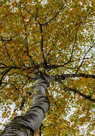 Look up into the canopy of yellow leaves during the Autumn in Vermont