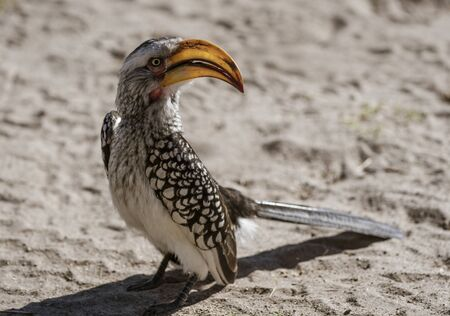 Yellow Billed Hornbill sits on the sand, scanning his horizon in Namibia Banco de Imagens - 128584145