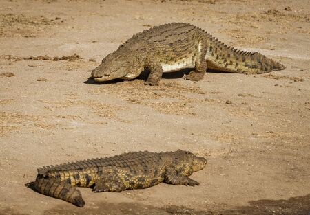Two crocodiles on a river bank in Namibia