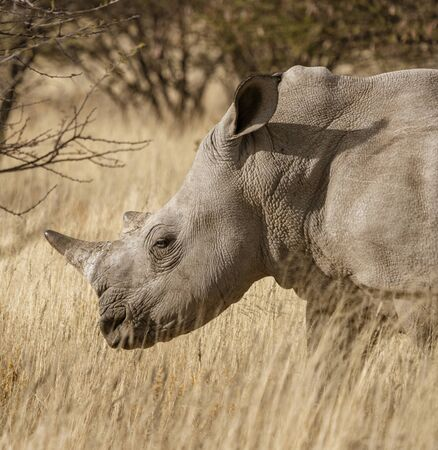 Single white rhinoceros stands on a dirt road in Namibia Standard-Bild - 128584165